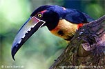 Collared Aracari, by Kevin Bartlett