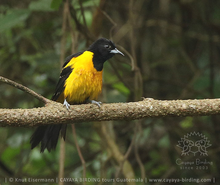 Bar-winged Oriole, Guatemala Highland Endemics Plus Tour CAYAYA BIRDING