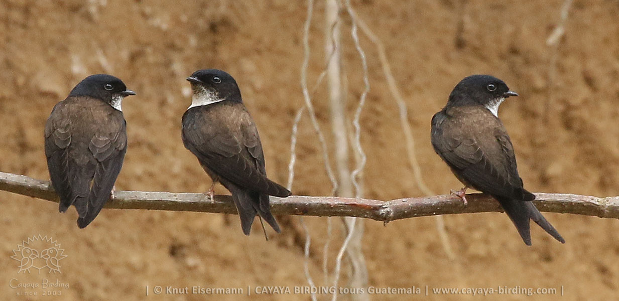Black-capped Swallow, CAYAYA BIRDING day trips from several tourism hotspots in Guatemala