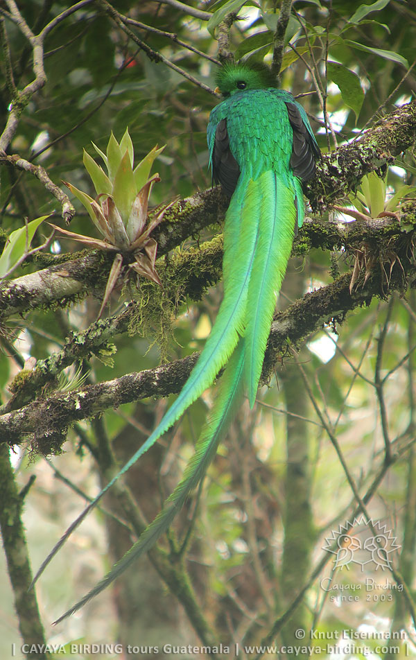 Resplendent Quetzal, CAYAYA BIRDING day trips from several tourism hotspots in Guatemala