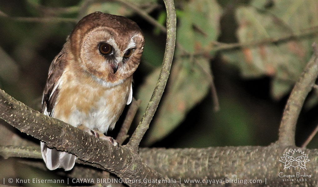 Unspotted Saw-whet Owl, CAYAYA BIRDING target birding tours in Guatemala