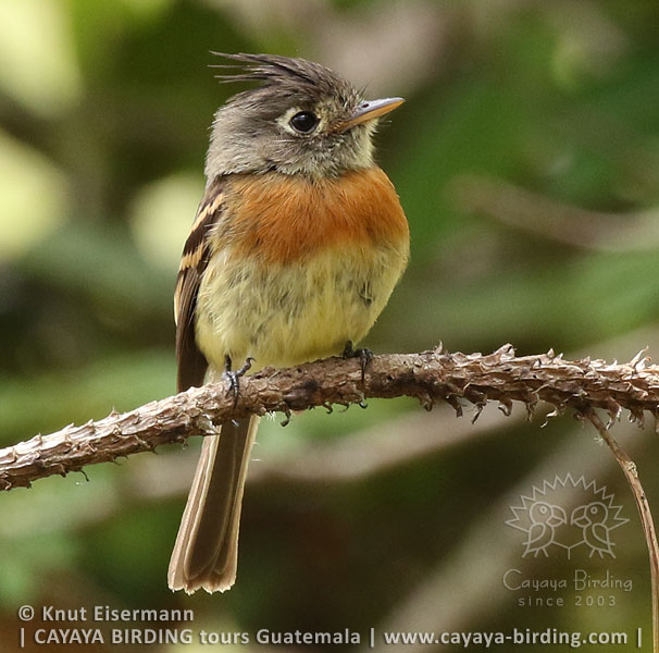 Belted Flycatcher, Highland Endemics Tour in Guatemala with CAYAYA BIRDING