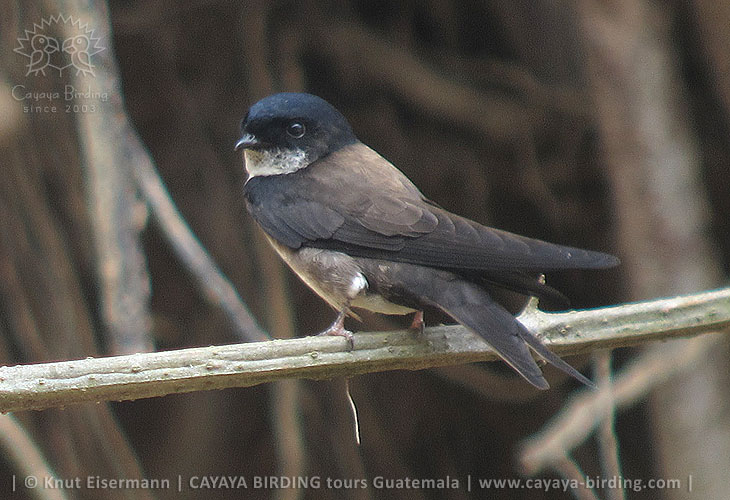 Black-capped Swallow, Guatemala Highland Endemics Plus Tour CAYAYA BIRDING