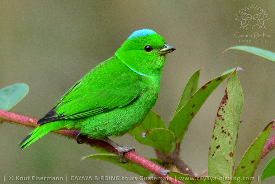 Blue-crowned Chlorophonia, Guatemala Highland Endemics Plus Tour CAYAYA BIRDING