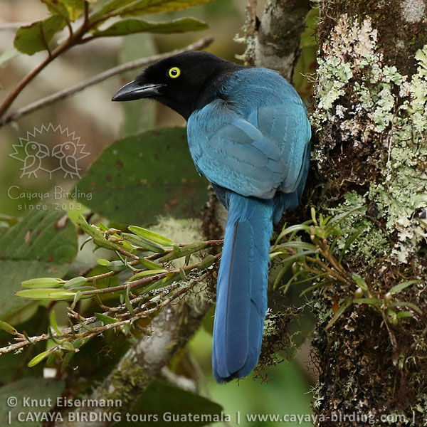 Bushy-crested Jay, Highland Endemics Tour in Guatemala with CAYAYA BIRDING