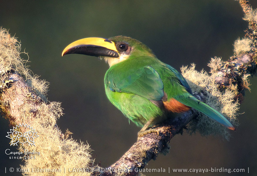 Emerald Toucanet, Guatemala Highland Endemics Plus Tour CAYAYA BIRDING