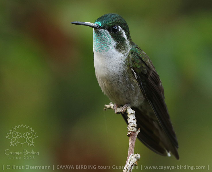 Green-throated Mountain-gem, Highland Endemics Tour in Guatemala with CAYAYA BIRDING