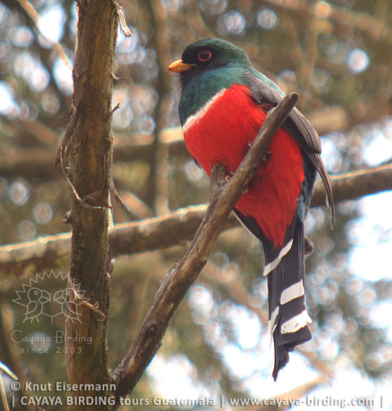 Mountain Trogon Highland Endemics Tour in Guatemala with CAYAYA BIRDING