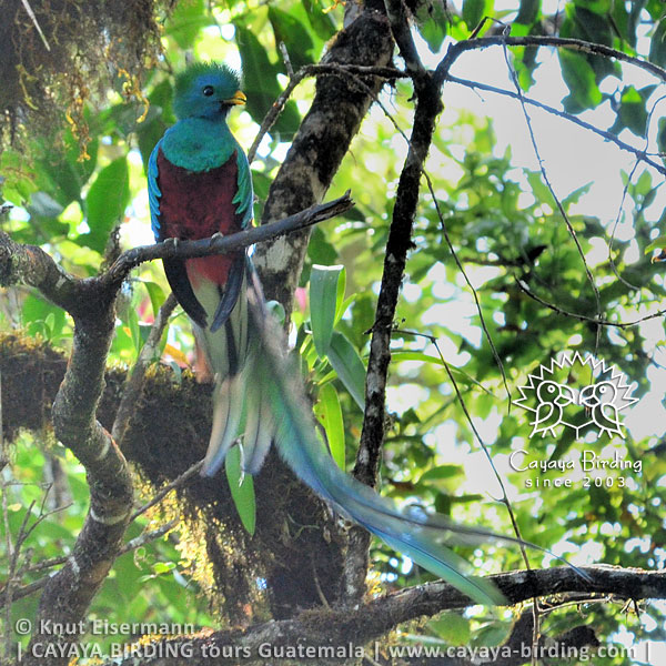 Resplendent Quetzal, Highland Endemics Tour in Guatemala with CAYAYA BIRDING