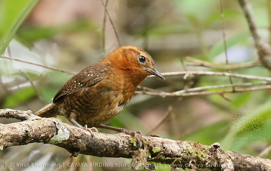 Rufous-browed Wren, Highland Endemics Tour in Guatemala with CAYAYA BIRDING