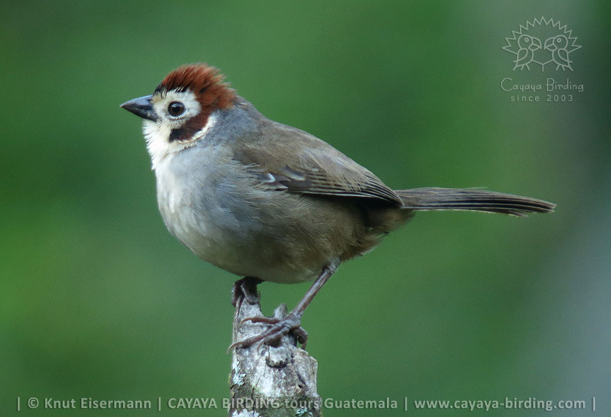 White-faced Ground-Sparrow (Prevost's Ground-Sparrow), Guatemala Highland Endemics Plus Tour CAYAYA BIRDING