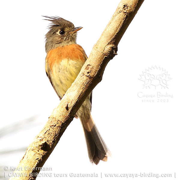 Belted Flycatcher, CAYAYA BIRDING day trips from several tourism hotspots in Guatemala