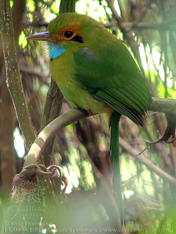 Blue-throated Motmot, CAYAYA BIRDING day trips from several tourism hotspots in Guatemala