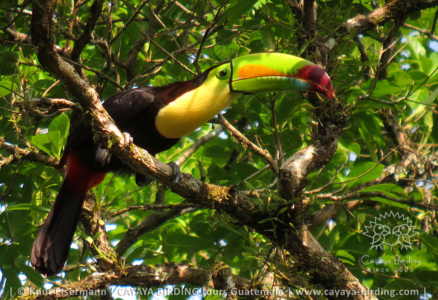 Keel-billed Toucan, CAYAYA BIRDING day trips from several tourism hotspots in Guatemala