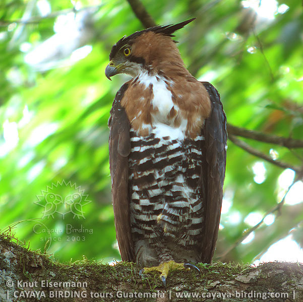 Ornate Hawk-Eagle, CAYAYA BIRDING day trips from several tourism hotspots in Guatemala