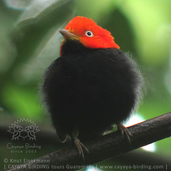 Red-capped Manakin, CAYAYA BIRDING day trips from several tourism hotspots in Guatemala