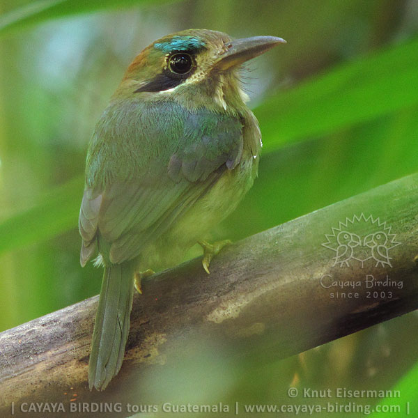 Tody Motmot, CAYAYA BIRDING day trips from several tourism hotspots in Guatemala