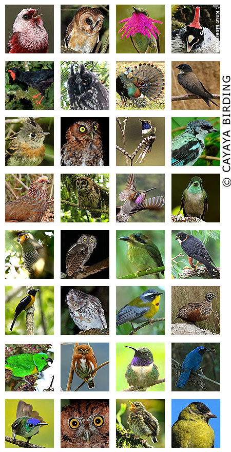 The best of birds of Guatemala