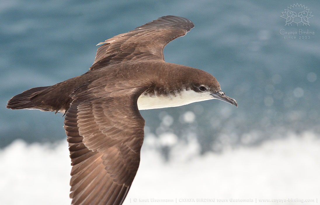 Galapagos Shearwater in Guatemala during a CAYAYA BIRDING pelagic tour