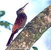 Ivory-billed Woodcreeper, by David McDonald