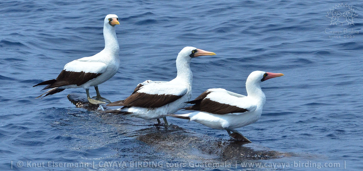 Nazca Boobies in Guatemala during a CAYAYA BIRDING pelagic tour