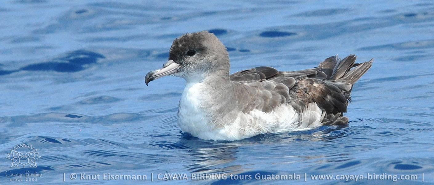 Pink-footed Shearwater in Guatemala during a CAYAYA BIRDING pelagic tour