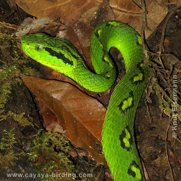 Yellow-blotched Palm Pit Viper Botriechis aurifer