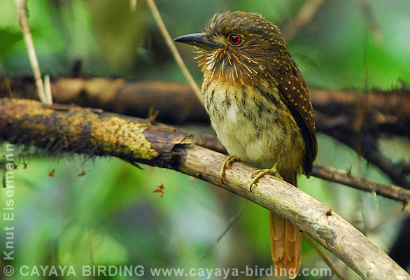 Puffbirds - photo#8