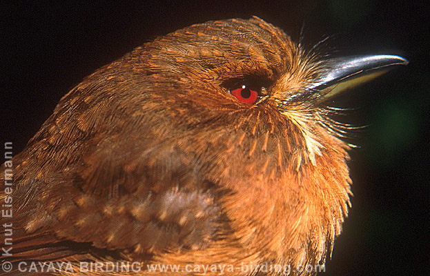 Puffbirds - photo#15