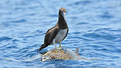 Brown Booby on sea turtle in Guatemala