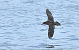 Pink-footed Shearwater in Guatemala