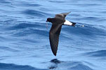 Wedge-rumped Storm-Petrel in Guatemala