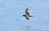 Wedge-tailed Shearwater in Guatemala
