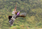 male Amethyst-throated Hummingbird