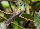 Green-throated Mountain-gem male