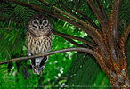 roosting Fulvous Owl