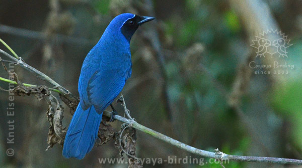 Black-throated Jay