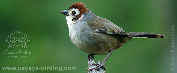 Prevost's Ground Sparrow
