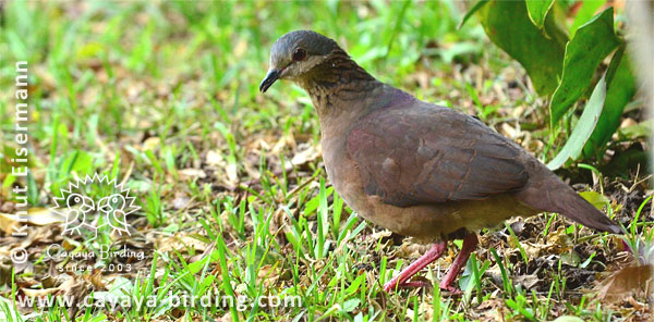 White-faced Quail-Dove