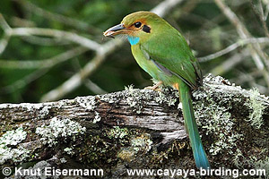 Blue-throated Motmot