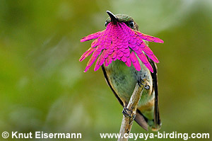 Wine-throated Hummingbird