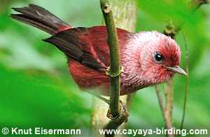 Pink-headed Warbler