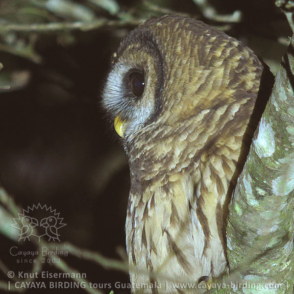 Fulvous Owl, Highland Endemics Tour in Guatemala with CAYAYA BIRDING
