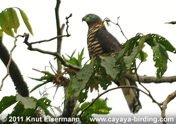 Hook-billed Kite