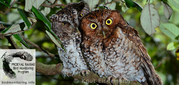 Bearded Screech-Owl, Vulnerable