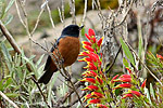 Cinnamon-bellied Flowerpiercers