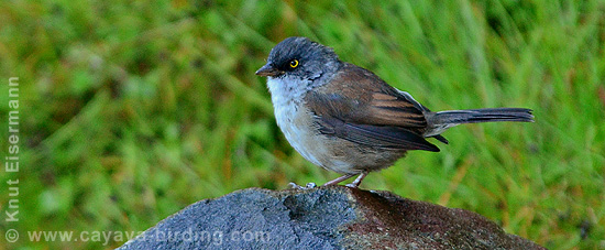 (Guatemalan) Yellow-eyed Junco