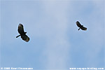 Black Hawk-Eagle (Spizaetus tyrannus)