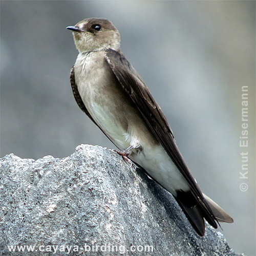 Ridgway's Rough-winged Swallow