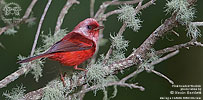 Pink-headed Warbler, by Kevin Bartlett.